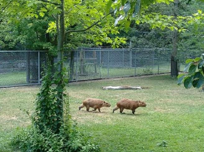 capybaras_highpark2